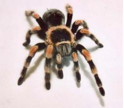 ship a tarantula