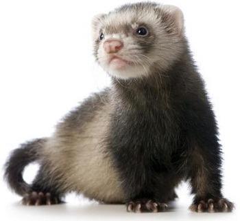 Ship a ferret