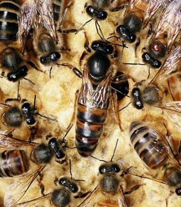 Ship bees