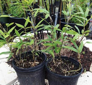 How to Ship Bamboo Plants