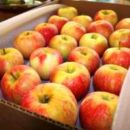 Ship Apples