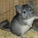 Ship Chinchillas
