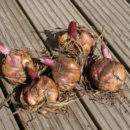 Ship Plant Bulbs